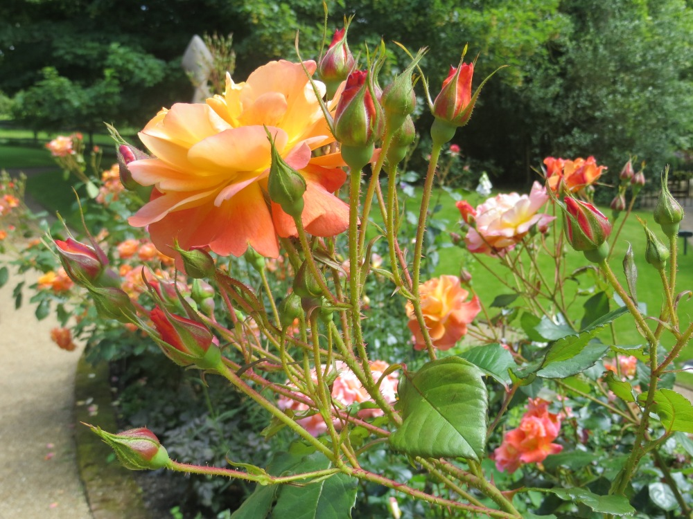 A Rose from Pashley Manor, UK