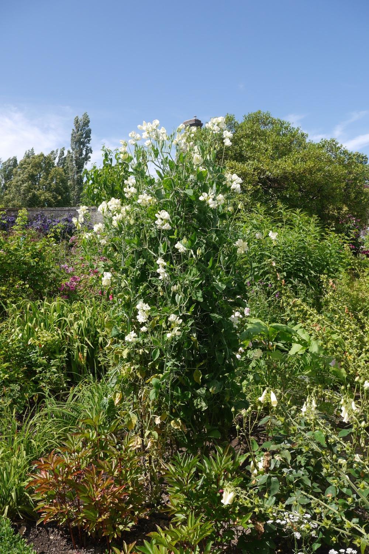 Sweetpeas In the Garden